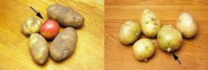 Ябълка за прорастване на картофите